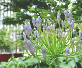 耐寒性もあり露地植えもOKのアパガンサスは多年草なのでイングリッシュガーデン向きの花です
