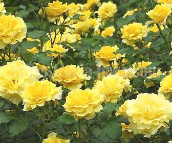 イングリッシュガーデンを作るためにはかかせないバラの花