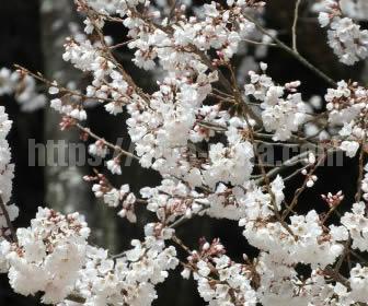 桜は花が咲く期間が短い