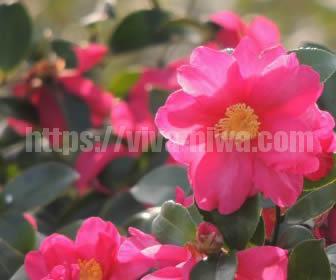 冬のさみしい庭を彩る山茶花(サザンカ)