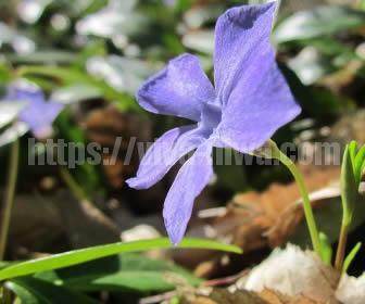 ツルニチニチソウはどんどん増える蔓植物です
