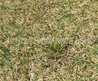 芝生の雑草の種類イヌムギ