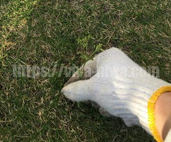 芝生の中の雑草の取り方
