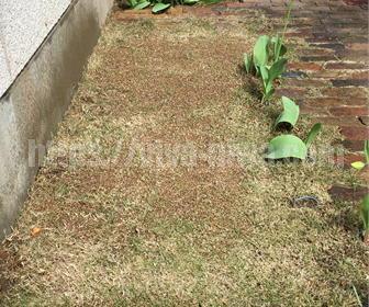 芝生の目土施工