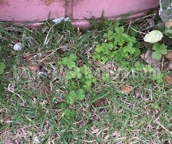 芝生の雑草の種類ムラサキタカバミ