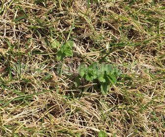 芝生の草取り作業