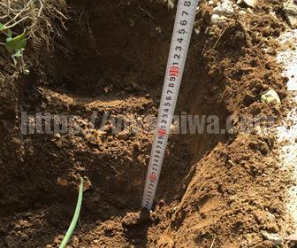 バラの土を掘り起こす