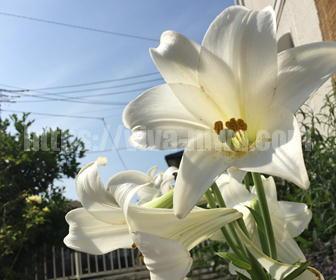 球根で育てるユリの花