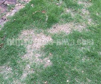 芝生の軸刈り施工例