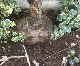 バラの肥料やりで土を掘る