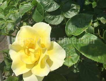 きれいなバラの育て方