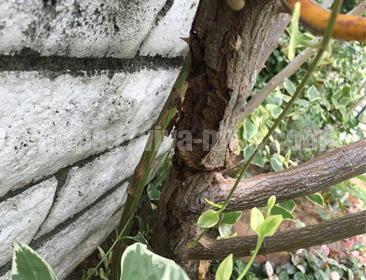 バラの害虫テッポウムシ