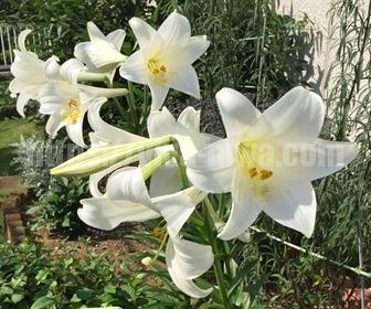 ユリの開花