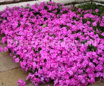 芝桜グランドカバーの開花