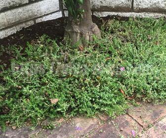 芝桜の蒸れを対策で刈りこむ