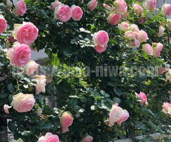 バラの自作フェンス