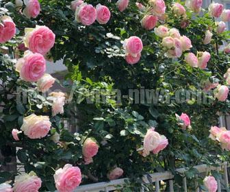 つるバラのフェンスで開花したバラの様子