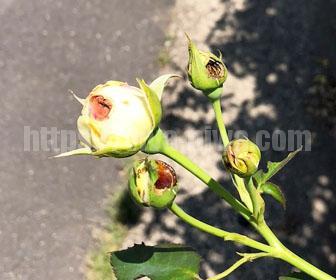 バラの害虫カメムシ蕾を被害
