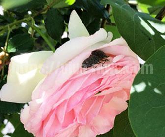 バラの害虫カメムシ