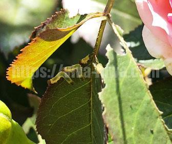 茎のキズから卵を産み付け葉っぱを食べる
