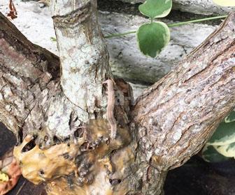 バラの葉を食べるヨトウムシ
