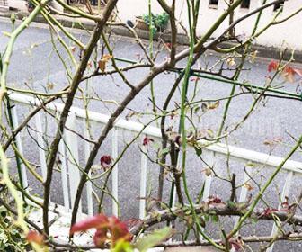 バラの葉を食べる毛虫