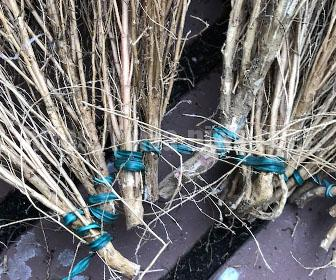 コキアを紐でつなぐ方法